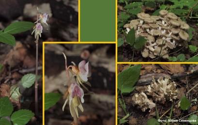 Экспедиция ЦЭПЛ РАН обнаружила новый вид во флоре НП «Смоленское Поозерье»