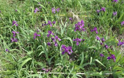 База данных «Биоморфологические показатели видов травяного покрова  внутрилесных лугов»