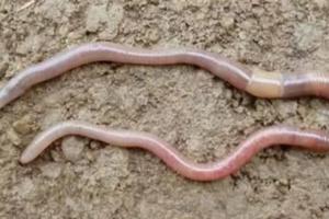 earthworm_pic2